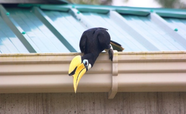 Oriental pied Hornbill, waking up in the gutter (photo by Steve Brenner)