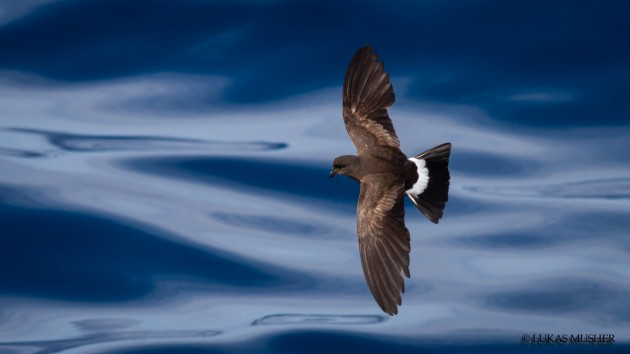 Wilson's Storm-PEtrel over the slick [Photo by Luke Musher]
