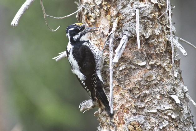 American Three-toed Woodpecker, Mirror Lake, Uinta-Wasatch-Cache, 6/28/15.