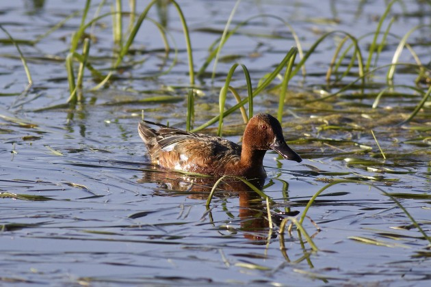 Cinnamon Teal, Moose-Wilson Rd., Grand Teton National Park, Wyoming, 6/18/15