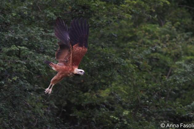 Black-collared Hawk - adult, taking flight