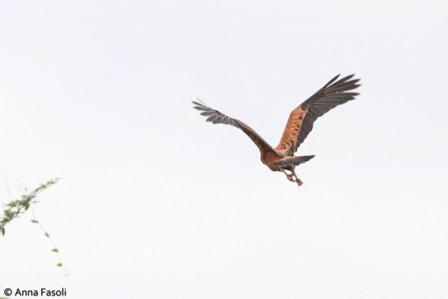 Black-collared Hawk - adult; note dark flight feathers