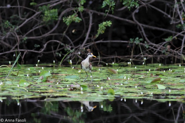 Northern Jacana - juvenile; this species is extremely common and can be seen foraging on Lilly pads during the boat tour