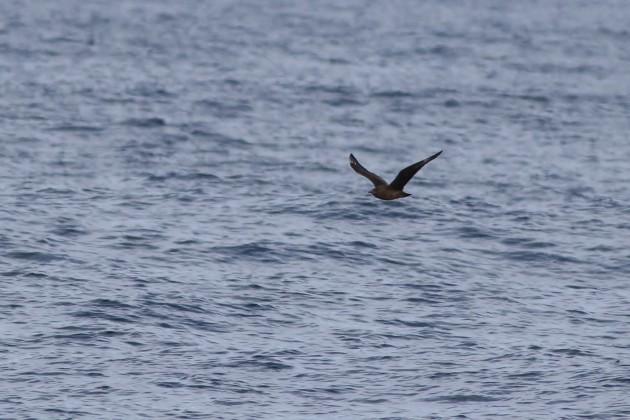 Great Skua approaching the boat - from certain angles the bulky structure of the skua wasn't nearly as apparent, instead giving off a surprisingly sleeker, muscular Pomarine Jaeger vibe... (Photo by Alex Lamoreaux)