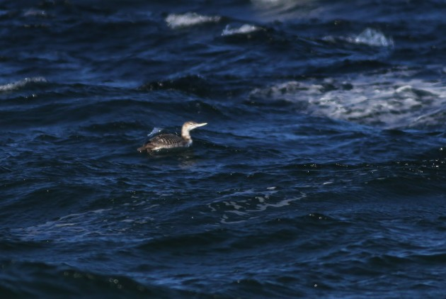 First-winted Yellow-billed Loon along Race Point - with a similar structure to a large Common Loon, but with an even larger bill and overall sandy coloration. (Photo by Alex Lamoreaux)