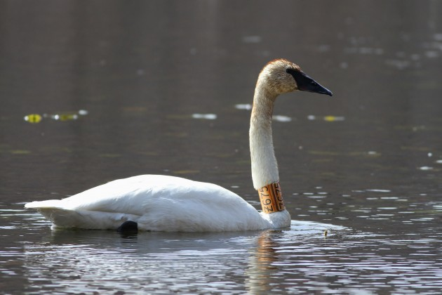 Trumpeter Swan Z675 which is currently in Schuylkill County with Z603. (Photo by Alex Lamoreaux)