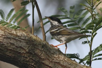 Blackpoll Warbler adult male (Photo by Alex Lamoreaux)