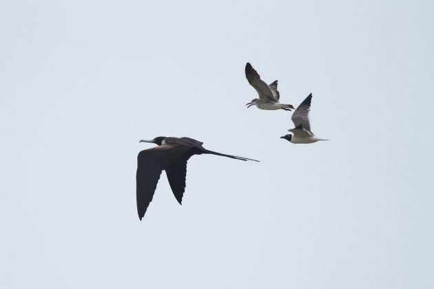 Magnificent Frigatebird chased by Laughing Gulls (Photo by Alex Lamoreaux)