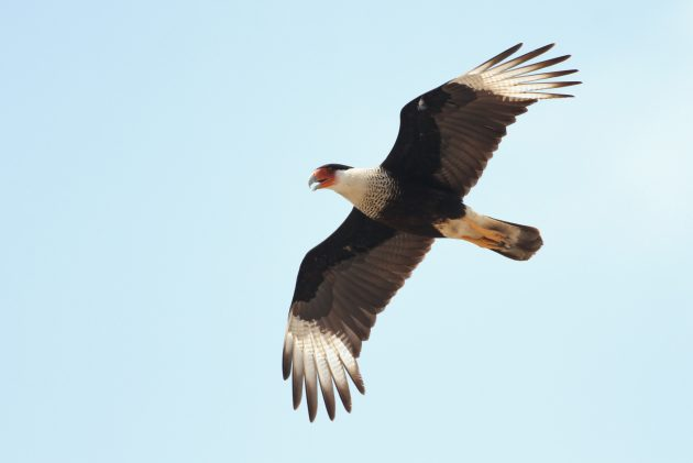 Crested Caracara adult (Photo by Alex Lamoreaux)