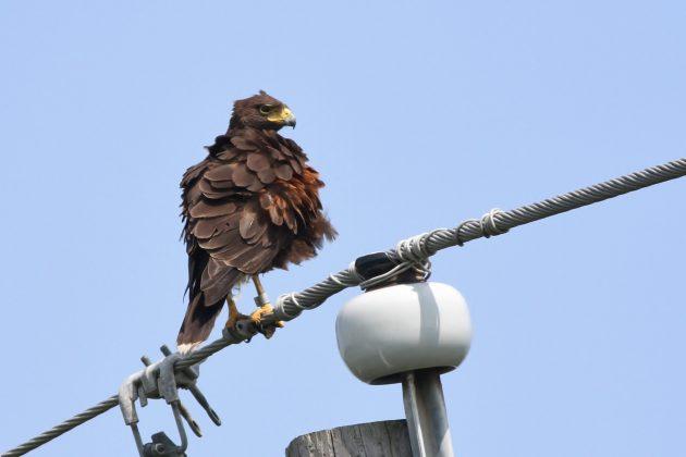 Harris's Hawk adult with leg band (Photo by Alex Lamoreaux)