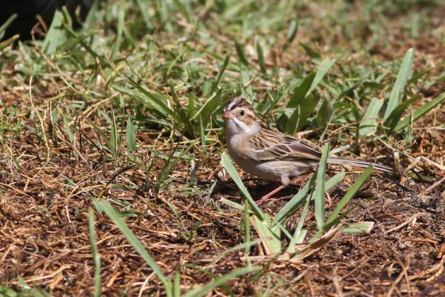 Clay-colored Sparrow (Photo by Alex Lamoreaux)