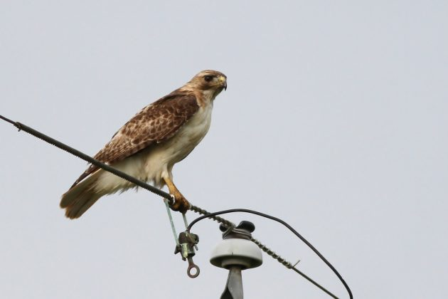 Here's a typical Red-tailed Hawk from south Texas - almost certainly representing the Fuerte's subspecies (Photo by Alex Lamoreaux)