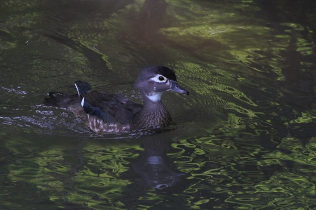 Female Wood Duck (Photo by Alex Lamoreaux)