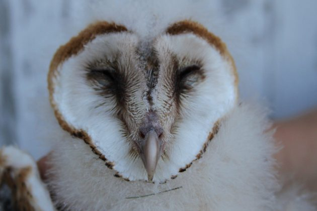 Barn Owl fledgling - the youngest of the 4 banded (Photo by Alex Lamoreaux)