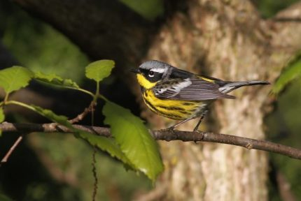 Magnolia Warbler (Photo by Alex Lamoreaux)