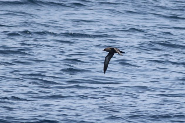 Sooty Shearwater (Photo by Alex Lamoreaux)