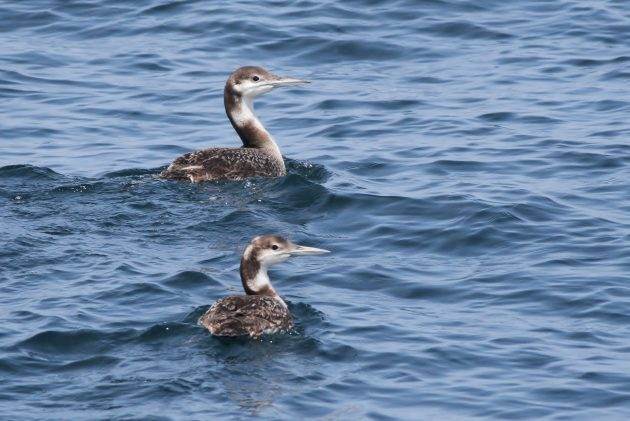 Immature Common Loons (Photo by Alex Lamoreaux)