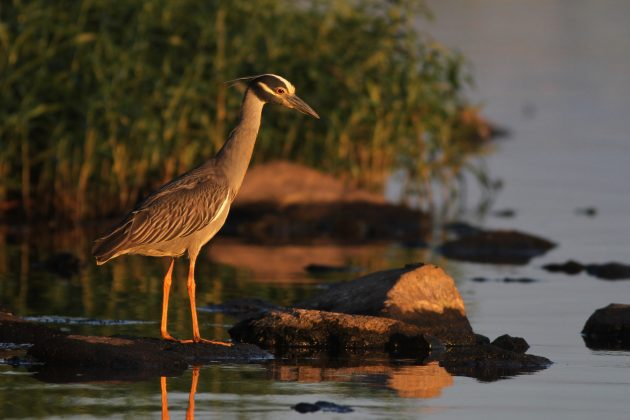 Adult Yellow-crowned Night-Herons (Photo by Alex Lamoreaux)