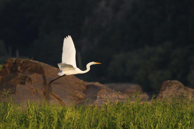 Great Egret at Riverfront Park, Lancaster County (Photo by Alex Lamoreaux)