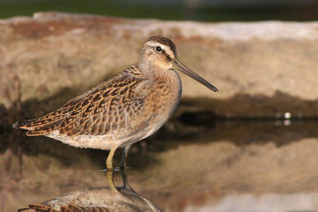 Short-billed Dowitcher (juvenile)