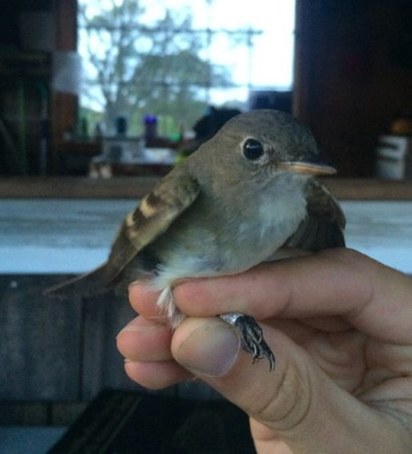 Least Flycatcher. Hello eye-ring (photo by Steve Brenner, RI 2016).
