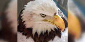 Albany the Bald Eagle NEMiss.news