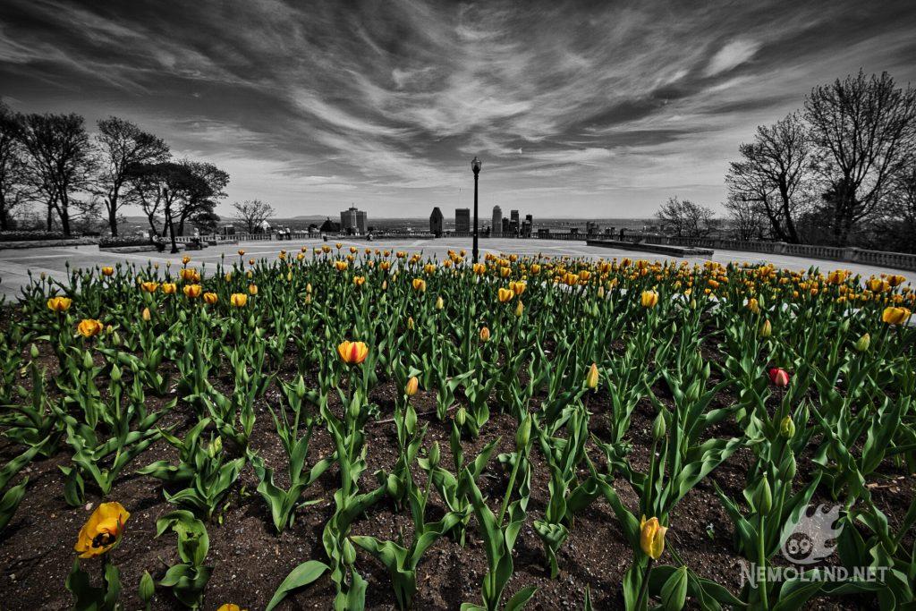 Tulipes sur le Mont Royal