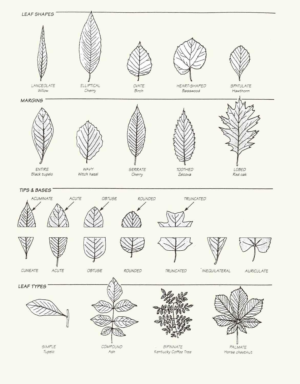 Leaf Identification Worksheet Worksheets For All Neo