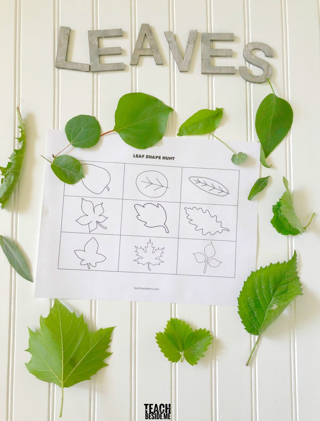 Leaf Shape Hunt A Teach Beside Me Neo Coloring