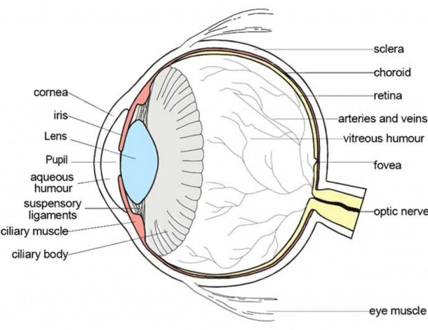 Anatomy Of The Eye Coloring - NEO Coloring