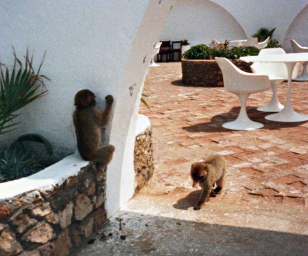 Restaurant, Barbary Apes