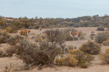 Guanacos From Coach