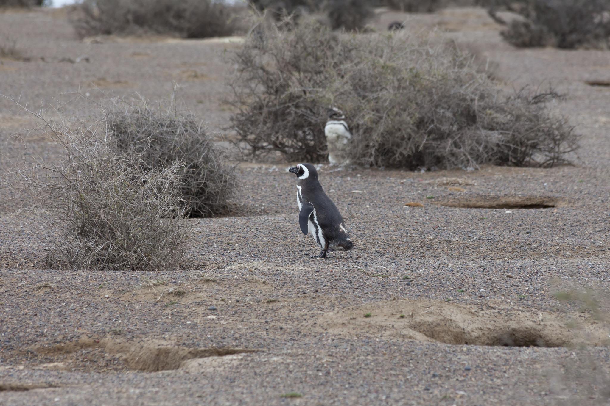 Magellanic Penguins, Punta Tombo