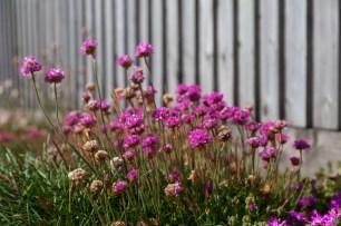 Falkland Islands Flowers