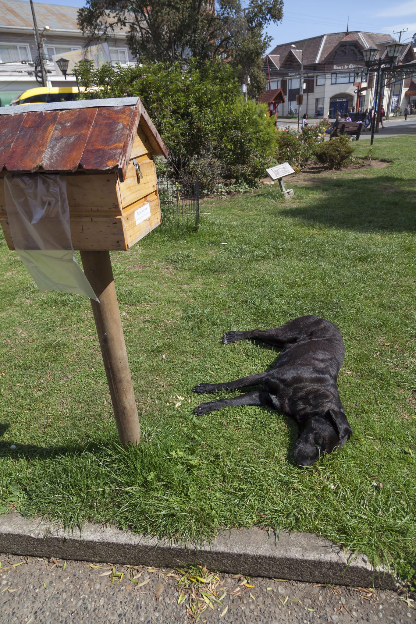 Puerto Varas, Dog