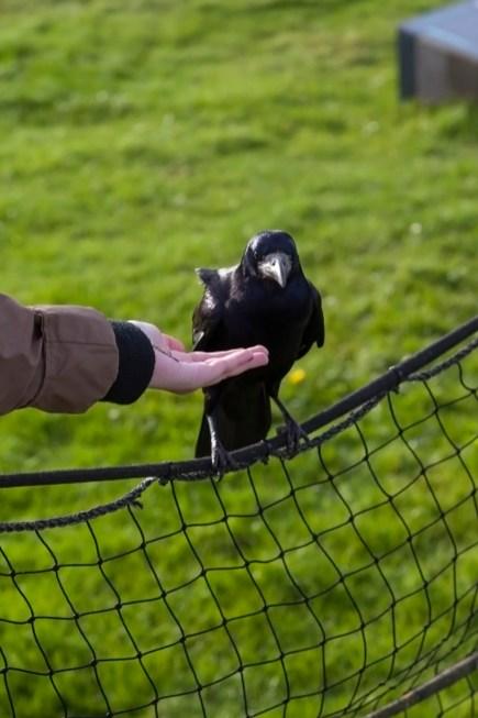 Stonehenge, Feeding A Crow