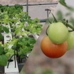 माटोविनै यसरी फल्छ तरकारी, तिलोत्तमाका किसानले देखाए कमाल (भिडिओ)
