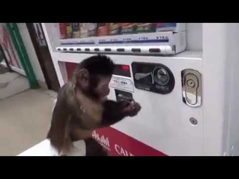 Monkey Buys Drink From Vending Machine