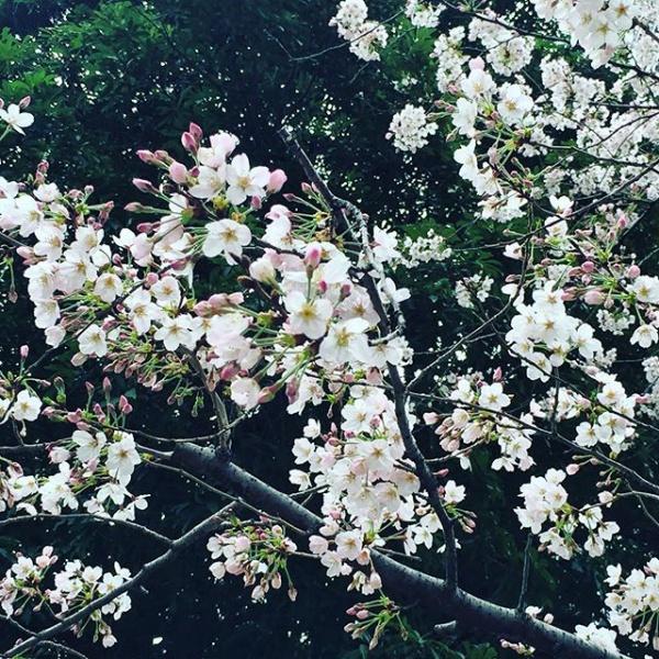 【Instagram】遅めの昼休みに散策してみました。桜、ほぼ満開です(^^)