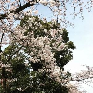 【Instagram】飯田橋駅付近の桜が満開になりました。風が少し強いけど、それほど散ってなくて一安心。#桜 #満開