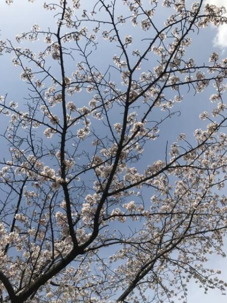 飯田橋駅付近の桜