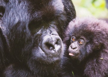 Male paternal gorillas are more attractive to females