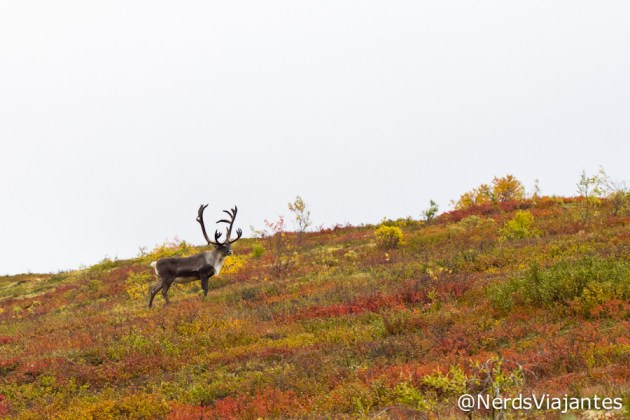 Caribou no Denali National Park
