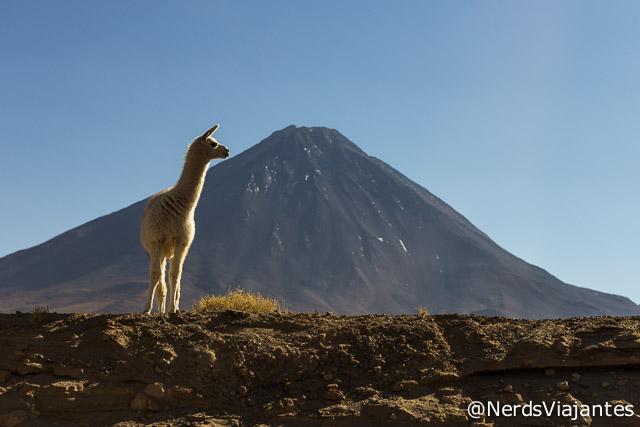 Lhamas posam de modelo em nosso caminho para o Salar de Tara, Atacama - Chile