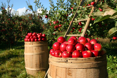 Image result for images of apple orchard