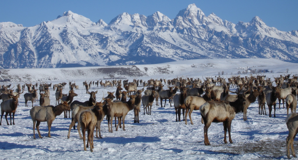 A large elk herd in the heart of Jackson Hole on the National Elk Refuge.