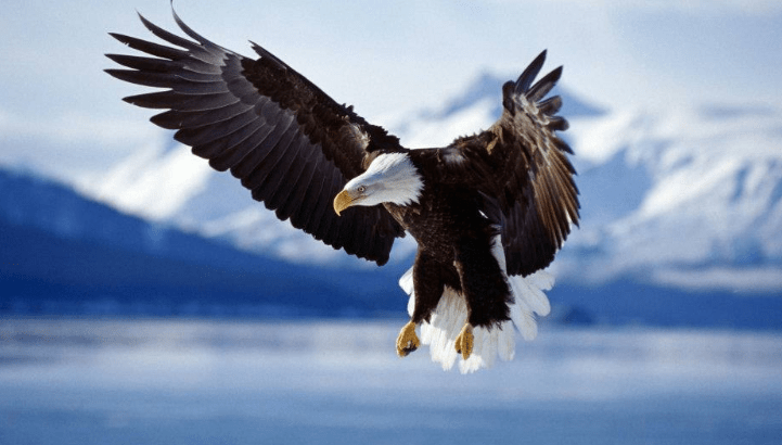 Eagles are commonly seen on the National Elk Refuge Sleigh Rides