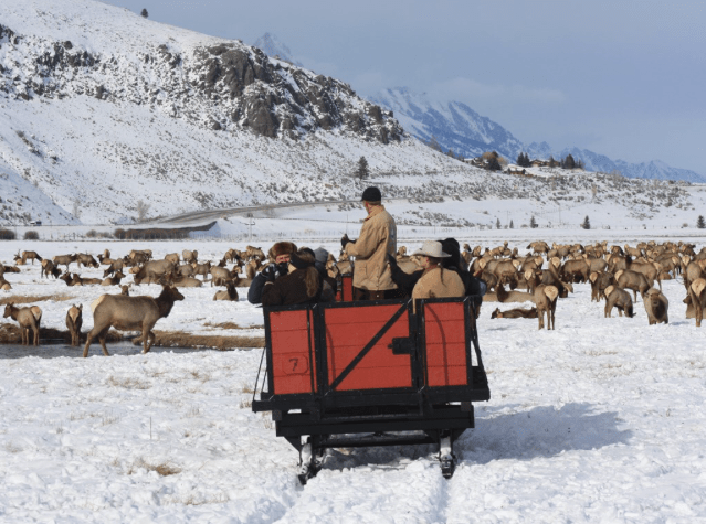 The National Elk Refuge Sleigh Rides take you to the herd of elk.