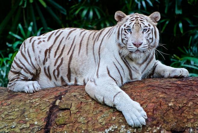 harimau putih - original size