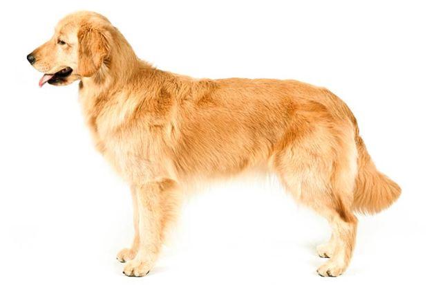 Golden Retriever Dog Breeds </p data-recalc-dims=
